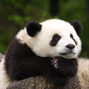0049-WO-Panda-Face